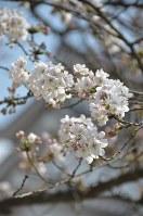 桜前線の急北上で観測以来最も早く開花した鶴ケ城公園の桜=福島県会津若松市追手町で2018年4月4日、湯浅聖一撮影