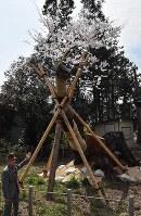 3月の暴風で根元から倒れたものの、無事に花を咲かせた馬場桜=福島県大玉村玉井で2018年4月4日、岸慶太撮影