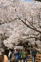 満開の桜を楽しむ人でにぎわう高遠城址公園=長野県伊那市の高遠城址公園・桜雲橋で2018年4月5日、宮坂一則撮影