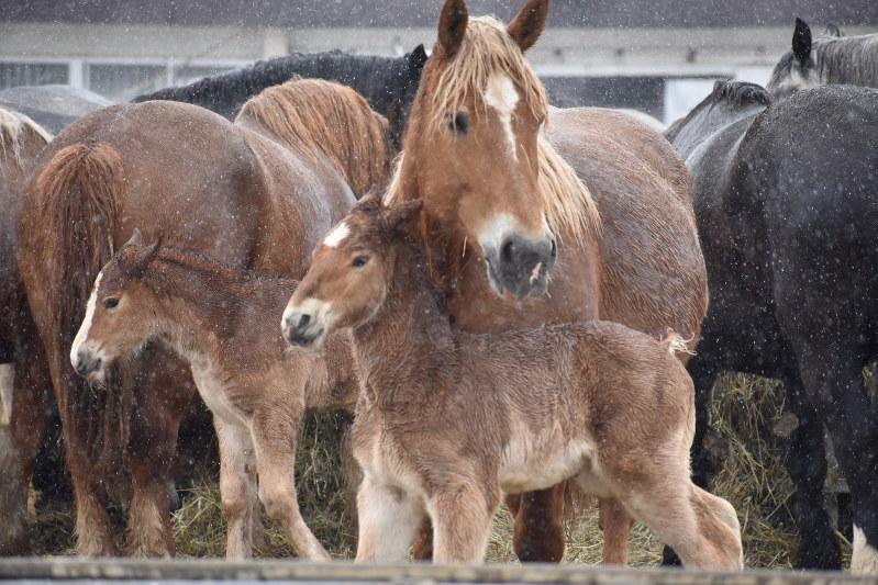 農用馬の出産がピーク