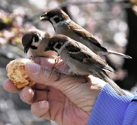 Sparrows are fed at Ueno Park in Tokyo's Taito Ward, on March 23, 2018. (Mainichi)
