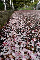 雨に打たれて散り、歩道をピンク色に染める桜の花びら=福岡市中央区の舞鶴公園で2018年4月6日、野田武撮影