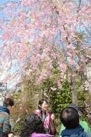ガイドツアーで満開のしだれ桜を見物する観光客たち=栃木県日光市松原町で2018年4月6日、花野井誠撮影