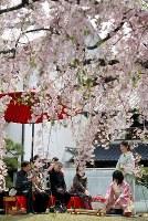 桜をめでながらお茶を楽しむ人たち=兵庫県伊丹市宮ノ前2の「みやのまえ文化の郷」で2018年4月7日、高尾具成撮影