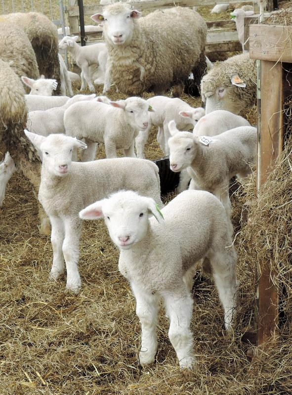えこりん村:「メエー」子羊誕生ラッシュ 北海道・恵庭 - 毎日新聞