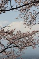 富士山を背景に咲き誇る桜=山梨県富士吉田市で2018年4月10日、小田切敏雄撮影