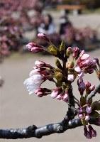 酒田でもソメイヨシノが開花した=山形県酒田市の日和山公園で2018年4月10日、高橋不二彦撮影