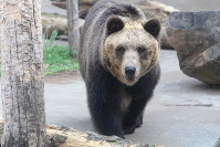 Hokkaido brown bear Tonko is seen on May 28, 2016, at Asahikawa city Asahiyama Zoo, Hokkaido, in this photo provided by the facility.