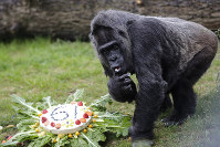 The female Gorilla Fatou eats a 'rice-cake' to celebrate her 61st birthday at a zoo in Berlin, Germany, on April 13, 2018. (AP Photo/Markus Schreiber)