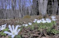 アファンの森に咲く春の妖精「アズマイチゲ」=C.W.ニコル・アファンの森財団提供