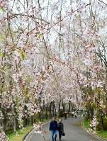 遊歩道沿いをピンクに染めるしだれ桜=広島県世羅町小谷の世羅甲山ふれあいの里で2018年4月12日、渕脇直樹撮影