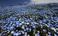 見ごろを迎えたネモフィラ=茨城県ひたちなか市の国営ひたち海浜公園で2018年4月12日、西本勝撮影