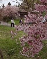 見ごろを迎えた徳合地区の枝垂れ桜=新潟県糸魚川市で2018年4月14日、浅見茂晴撮影