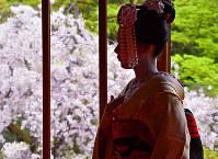 舞妓はまるで桜のよう。美しくて、はかない=京都市東山区で、川平愛撮影
