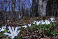 Anemone raddeana flowers, the