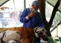4月18日、ハンガリーの動物園で絶滅危惧種のシベリアトラが、幹細胞を利用した関節の再生治療を受けた。(2018年 ロイター/Bernadett Szabo)