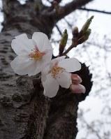 横手で開花したソメイヨシノ=秋田県横手市で2018年4月18日、佐藤伸撮影