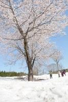 雪上で満開の桜を楽しむ人たち=新潟県魚沼市福山新田で2018年4月19日、板鼻幸雄撮影