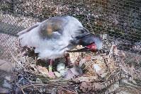 自然ふ化したトキのヒナと親鳥=いしかわ動物園提供