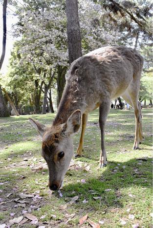 雑記帳:奈良市の奈良公園周辺で...