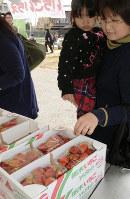 朝取りの「とちおとめ」を品定めする参加者=栃木県鹿沼市で2018年3月15日、花野井誠撮影