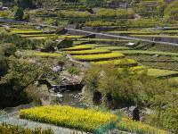 段々畑に菜の花が咲き誇る神山町=徳島県神山町で2018年4月13日、柴沼均撮影