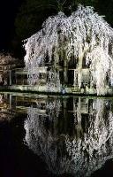 ライトアップされた枝垂れ桜が水田に映り込み、幻想的な雰囲気に包まれた=岐阜県高山市朝日町で2018年4月18日、大竹禎之撮影