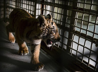 A tiger cub is shown inside a veterinary clinic, on May 1, 2018, at Gladys Porter Zoo in Brownsville, Texas. (Jason Hoekema/The Brownsville Herald via AP)