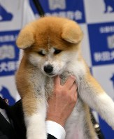 Japanese Akita puppy Masaru that was offered to Russian figure skater Alina Zagitova is seen in Odate, Akita Prefecture, on May 3, 2018. (Mainichi)