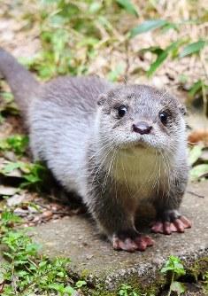 The female baby Eurasian otter named Kuneko. (Photo courtesy of Yokohama Zoo Zoorasia)