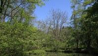 アファンの森も新緑の季節を迎えた=C.W.ニコル・アファンの森財団提供