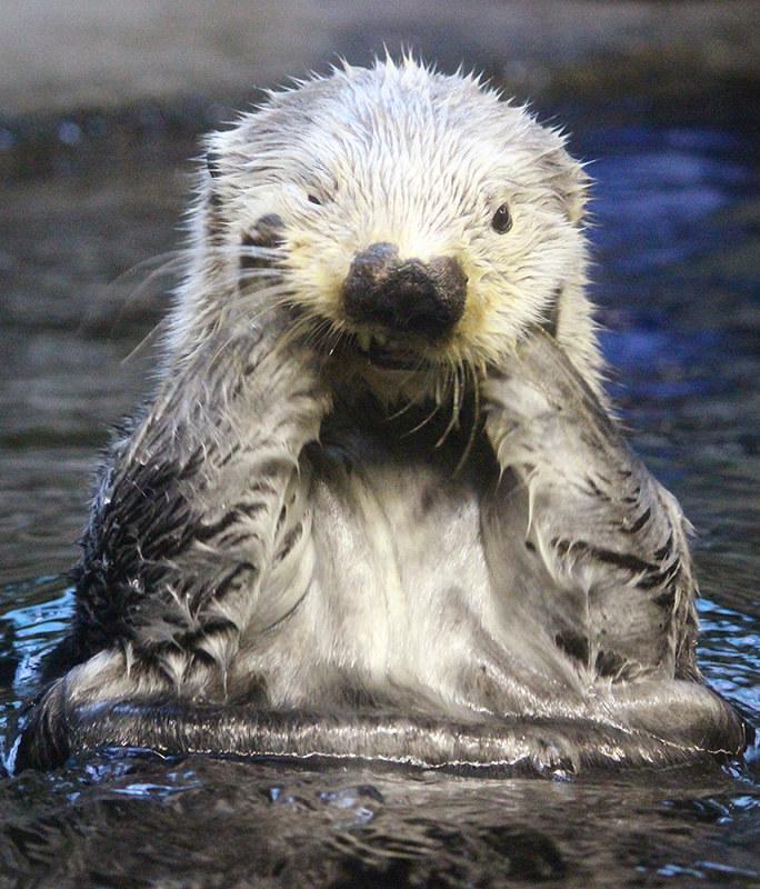 ラッコラッキー20歳に 国内の雄最高齢 須磨海浜水族園 兵庫