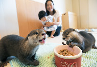 Small clawed river otter Aoi, left, and Takechiyo eat their special cat food while owner Ayako Higuchi and her daughter Reina watch, in Tokyo's Shibuya Ward, on May 18, 2018. (Mainichi)