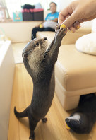 Small-clawed river otter Takechiyo strikes a pose for owner Ayako Higuchi when offered a treat in Tokyo's Shibuya Ward, on May 18, 2018. (Mainichi)