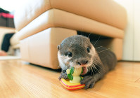 Small-clawed river otter Aoi chews on a toy brought to her by Takechiyo, in Tokyo's Shibuya Ward, on May 18, 2018. (Mainichi)
