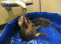 Small-clawed river otter Aoi, front, and Takechiyo play in the bath area of the Higuchi residence in Tokyo's Shibuya Ward, on May 18, 2018. Their twice-a-day baths are the two otters' favorite time of day. (Mainichi)