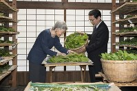 Empress Michiko feeds mulberry leaves to silkworms at the Momijiyama Imperial Cocoonery in the Imperial Palace in central Tokyo on May 21, 2018. (Photo courtesy of the Imperial Household Agency)