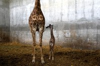 5月21日、エルサレムにある聖書動物園でキリンの赤ちゃん(右)が生まれ、今年の欧州国別対抗歌謡祭「ユーロビジョン」で優勝したイスラエル代表のネッタ・バルジライさんの曲にちなみ、「トイ」と名付けられた。左は母親のライラ(2018年 ロイター/Ronen Zvulun)