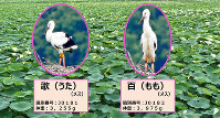 徳島県鳴門市が発表したコウノトリのひなの愛称を紹介するスライド資料=同市提供