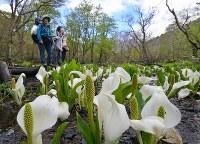 山開きを迎えた尾瀬国立公園で、ミズバショウが見ごろを迎えた湿原を歩く登山者ら=群馬県片品村で2018年5月24日、手塚耕一郎撮影