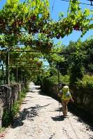 「ポルトガル人の道」はブドウ棚とトウモロコシ畑に囲まれた道だった
