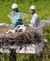 足環を付けるため、高所作業車を使ってコウノトリのひなをいったん保護した=島根県雲南市教委提供