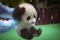 A zoo worker plays with a new baby panda at Malaysia Zoo in Kuala Lumpur, Malaysia on May 26, 2018. (AP Photo/Vincent Thian)