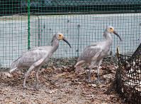 巣立ちしたトキのひな2羽=いしかわ動物園(石川県能美市)提供