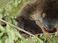 The May 9, 2018 photo taken at the zoo in Wroclaw, Poland, shows a tiny bear cuscus with its mother, very rare marsupial mammals that live on the Indonesian island of Sulawesi. (AP Photo/Monika Gorska)