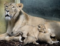 Three lion babies lie next to their mother Zarina at the zoo in Frankfurt, Germany, on May 30, 2018. (AP Photo/Michael Probst)