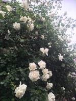 河瀬さんの自宅のバラ