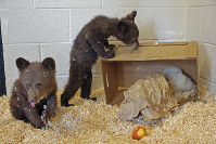 This photo provided by the wildlife park Bearizona in Williams, Ariz., shows two orphaned bear cubs, on May 30, 2018, that have been placed in the care of the wildlife rescue park near the Grand Canyon after their mother was euthanized. (Bearizona via AP)