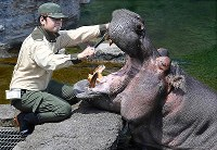 A zookeeper brushes teeth of a hippopotamus at Osaka Tennoji Zoo in Osaka's Tennoji Ward on June 3, 2018. (Mainichi)