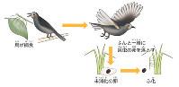 ナナフシの分布戦略イメージ